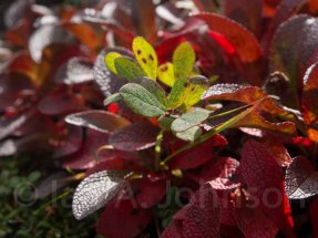 Bearberry - Denali National Park