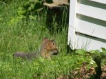 Gray Fox Pup - Scarborough, Maine