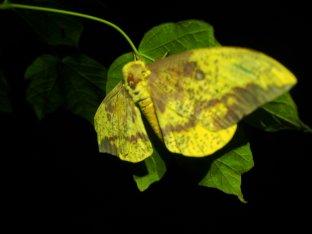 Imperial Moth at night - West Virginia
