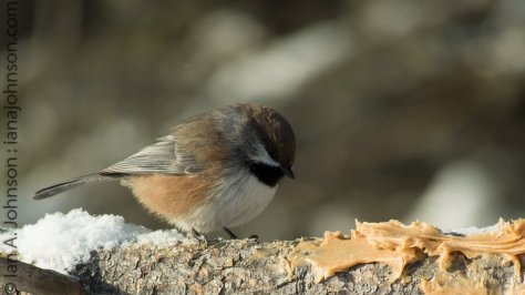 Boreal Chickadee at the feeders in Sax Zim Bog