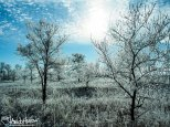 A heavy coating of hoar frost on the prairie of Minnesota.