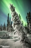 A snow-covered spruce leans with the Aurora Borealis in Fairbanks, Alaska