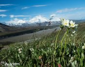 A Narcissus Anemone stands in front of Mount Denali at the Eilson Visitor Center, Denali National Park, Alaska.