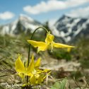 Glacier Lilies nod their heads in front of the mountains and over Bowman Lake, Glacier National Park, Montana.