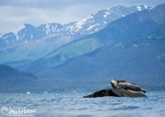 A gray seal is surrounded by mountains as he suns himself outside of Seward, Alaska at Lowell Point.