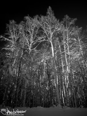 A stark stand of trees lit by winter, Arctic light.