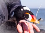 This surf scoter has been equipped with a satellite transmitter to monitor its movements on the eastern sea-board.