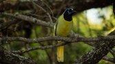 Green Jay (Cyanocorax yncas)