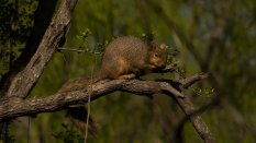 A sleepy fox squirrel at Bentson State Park, Texas