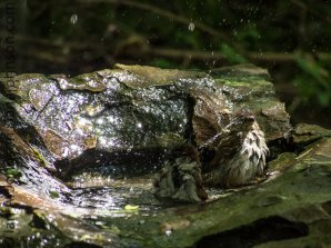 The true joy of bathing for a house sparrow (Passer domesticus ) in Texas!