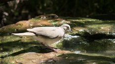 Mourning Dove (Zenaida macroura) at the water foundtain