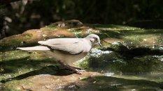 Mourning Dove (Zenaida macroura) at the water foundtain