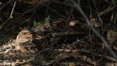 Pauraque (Nyctidromus albicollis )- can you see it??