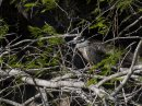 Yellow-crowned Night-heron (Nyctanassa violacea )