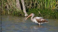 White Ibis (Eudocimus albus) - Estero State Park