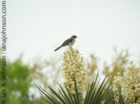 On a cloudy day this northern mockingbird (Mimus polyglottos) took up singing on top of this yucca