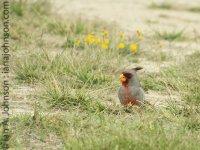 Pyrrhuloxia (Cardinalis sinuatus) - Falcon State Park