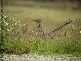 Greater Roadrunner (Geococcyx californianus )-Falcon State Park