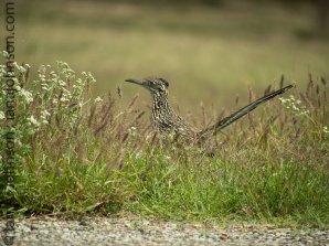 Greater Roadrunner (Geococcyx californianus )-Falcon State Park