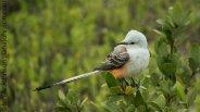 Scissor-tailed Flycatcher (Tyrannus forficatus ) - South Padre Island