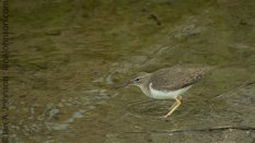 Unknown Sandpiper