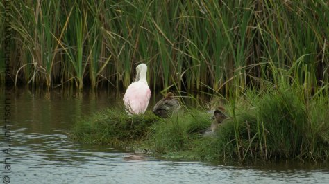 Roseate Spoonbill and Redhead Ducks