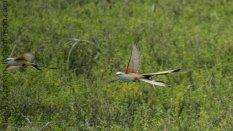 Scissor-tailed Flycatcher (Tyrannus forficatus)