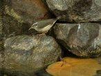 Louisisana Waterthrush (Parkesia motacilla)- South Padre Island