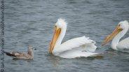 White Pelican (Pelecanus erythrorhynchos )