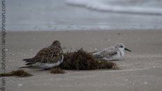 Ruddy Turnstone (Arenaria interpres ) and Sanderling (Sanderling) - Padre Island National Seashore