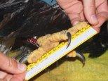 Taking some standard measurements on a eaglet chick including the halix length