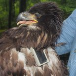 This eaglet chick is just about ready to head back home to its nest. Successful deployment of the GSM transmitter.