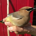 Cedar Wax-wing, Riverpoint Conservation Area, West Falmouth, Maine