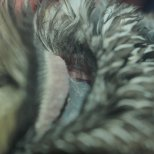 By carefully pulling the feathers back you can see the inside structure of an owls ear. No wonder they hear so well!