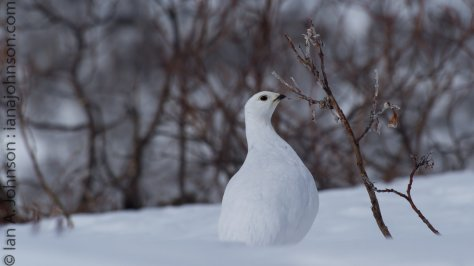 White-tailed Ptarmigan in its winter plumage. It was picking buds off this short willow.