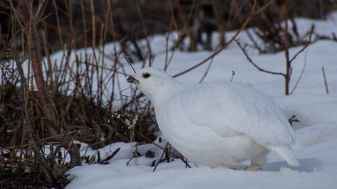 This white-tailed ptarmigan is grabbing a mouthful of snow- presumably for hydration.