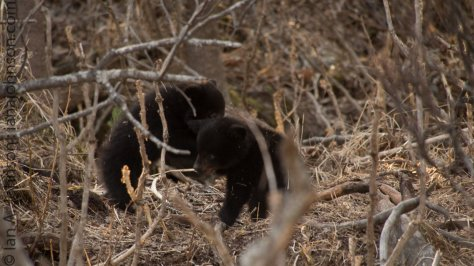 The two cubs were always wresting with each other, you'll see this playful see in the video in this post :)