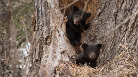 A cute shot of the cubs. One trying out tree bark and the other checking me out.