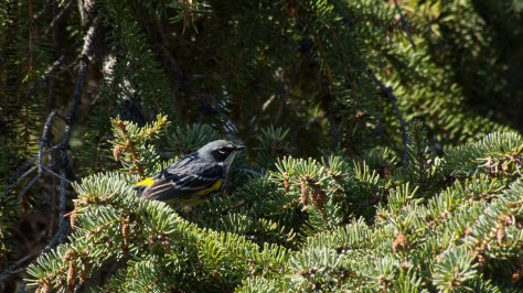 A yellow rumped warbler around Fort Yukon, AK