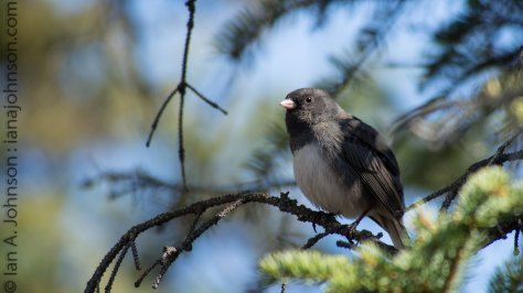 Dark-eyed Junco around Fort Yukon, AK