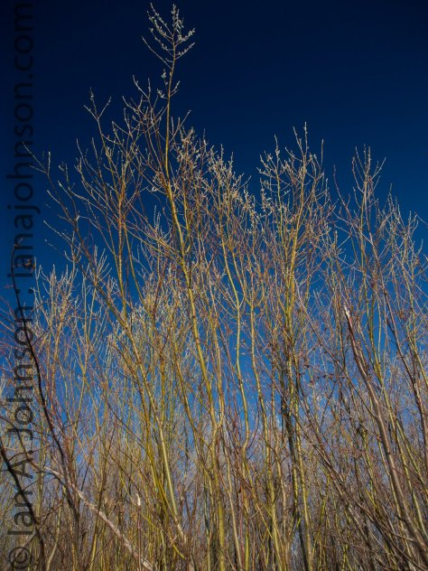 These yellow willows are a beautiful contrast against that deep blue sky!