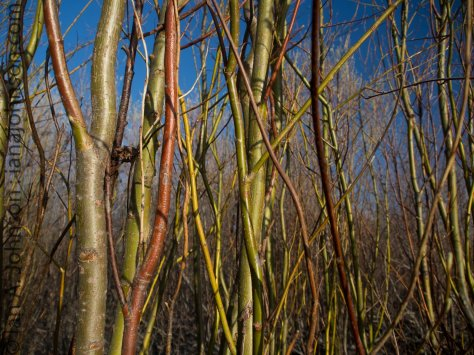 Yellow Willows