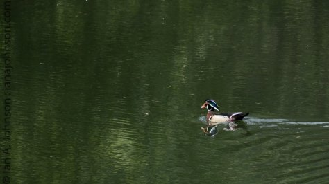 Wooduck at Kootenai NWR. These birds are ellusive and camera shy!
