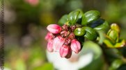 Low-bush Cranberry (lingon berry)