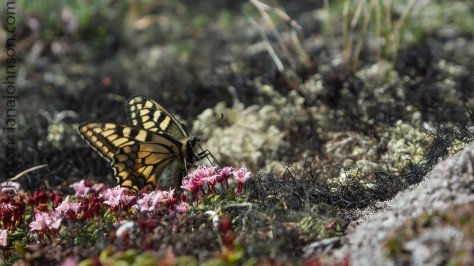 A swallowtail butterfly feeds on and pollinates some low-bush cranberries near the summit of Wickersham Dome