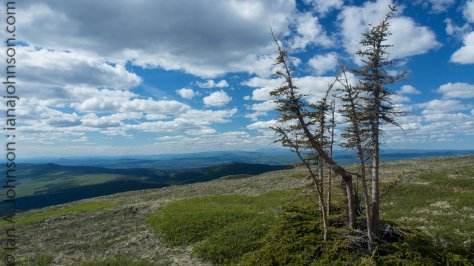 This pine tree defied the odds on the summit of Wickersham Dome. Somehow it's thriving when none others could!