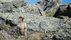 These marmots were common on the summit of Eagle Summit. They remind me of grizzled old men :)