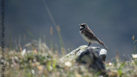 A horned lark sings for females on Eagle Summit.
