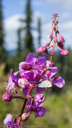 Fireweed is iconic to Alaska, and in thick patches it forms purple, waist-high carpets. Here, a butterfly was hiding in its petals. If anyone knows an ID on this butterfly, I would love to hear it! :) It was not very big, not more than 1/2 of an inch. Update: It's a Western Tailed Blue Butterfly, Thanks Mom for the ID, found on http://www.turtlepuddle.org/alaskan/butterfly23.html