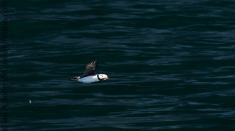 A horned puffin flying around the Chiswell Islands.